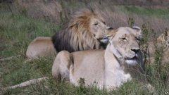 Senegal Threatened with Loss of Lions
